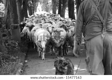 Sheep guided by dog and shepherd