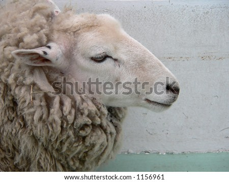 sheep head on the clean background - stock photo