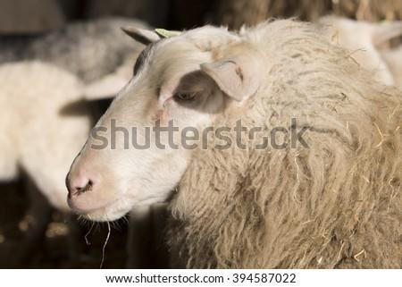 Sheep, headshot, closeup - stock photo