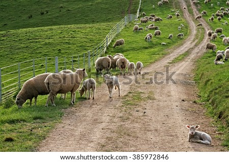 Sheep heavy with wool and lambs still with their tails backlit on a country road. - stock photo