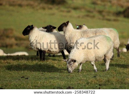 Sheep in a field. Somerset, England, UK. - stock photo
