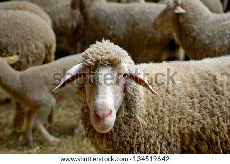 Sheep in a herd at a sheep farm - stock photo