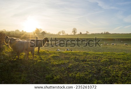 Sheep in a meadow at sunrise in autumn - stock photo