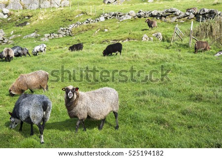 sheep in a meadow in Norway