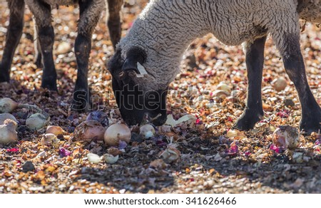 Sheep in a Pasture Eating Onions
