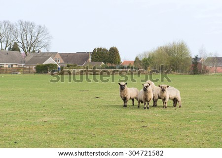 Sheep in Dutch landscape with farm houses - stock photo