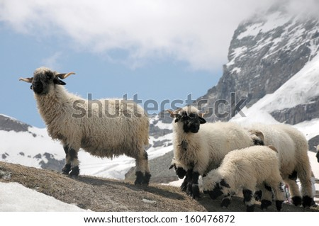 Sheep in front of Matterhorn in Swiss Alps - stock photo