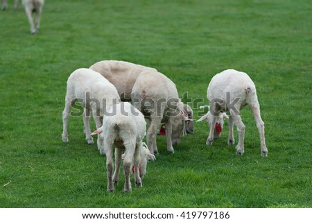 sheep in grass - stock photo