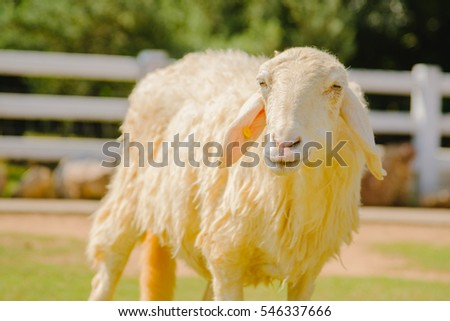 Sheep in nature on  FARM outdoor, Spring Lambs