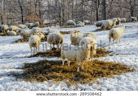 Sheep in Snowy Field - stock photo