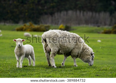 Sheep in the Field - stock photo