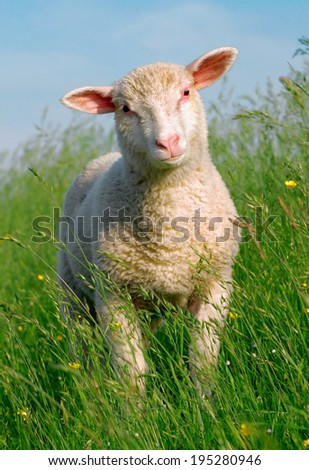 Sheep in the grass - stock photo