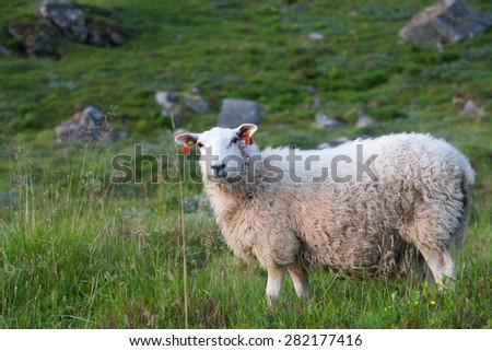 Sheep in the grassy mountain. Lofoten, Norway, Summer shot - stock photo