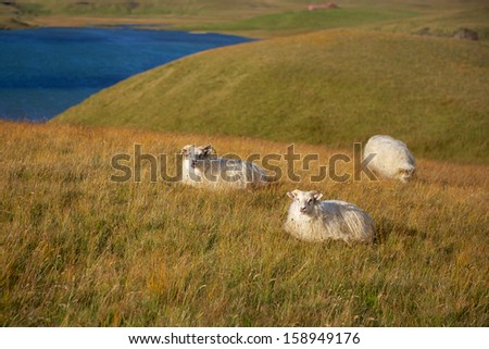 Sheep in the Icelandic landscape - stock photo