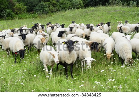 sheep in The Netherlands