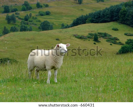 Sheep (in the Scottish Highlands)