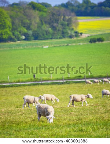 Sheep in valley in the Countryside near Stonehenge in Wiltshire in the the UK. Wiltshire is a county in South West England. It is famous for many valleys and downhills.  - stock photo