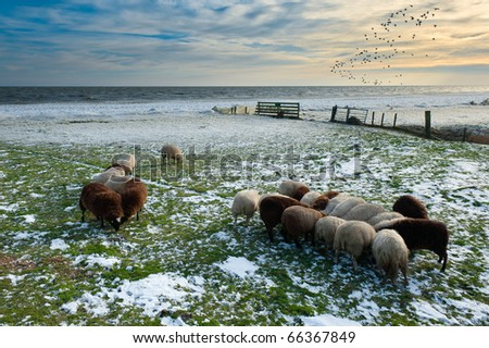 sheep in winter in Warder, Markermeer, The Netherlands - stock photo