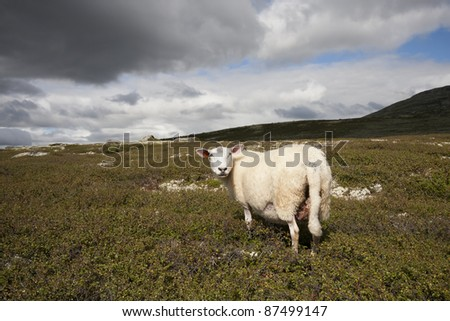 Sheep inland from Hemsedal (Norway)