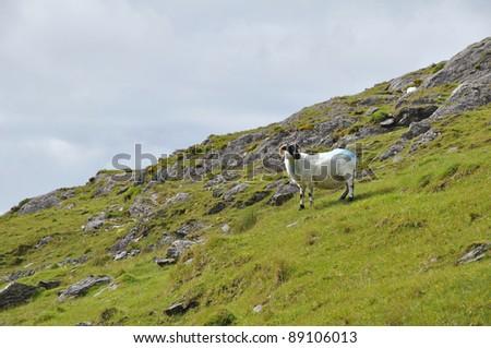 Sheep, Ireland - stock photo