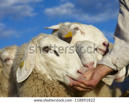 Sheep is eating salt from farmers hand - stock photo