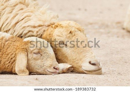 Sheep lay down,couple - stock photo