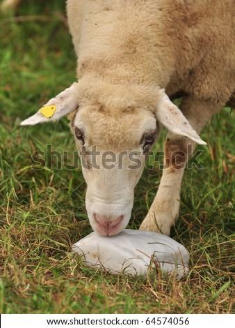 Lick a sheep