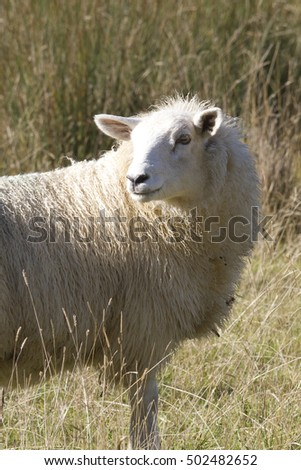 Sheep looking back, in Grass and Sedge, closer