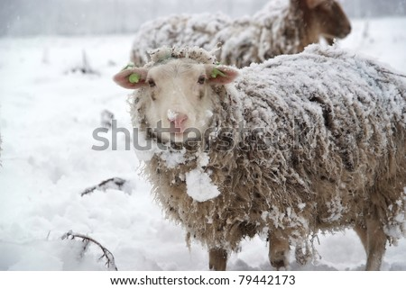 Sheep looks into the camera on a snowy day.