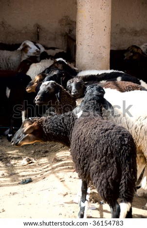 Sheep market in madina; Morocco - stock photo