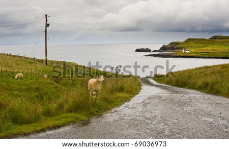 Sheep near the road in Isle of Skye scotland with ocean on background