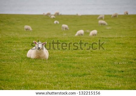 Sheep near the sea in New Zealand - stock photo
