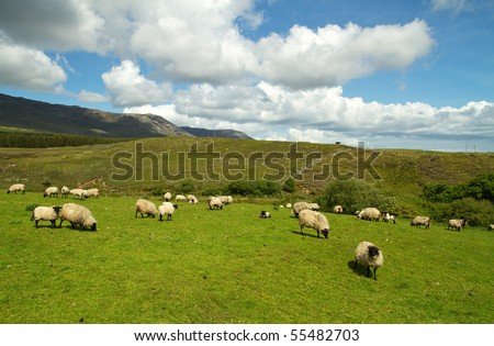 Sheep of Connemara mountains - Ireland - stock photo