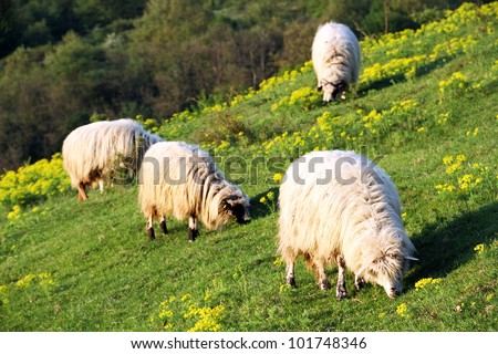Sheep on a mountain meadow - stock photo