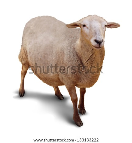 Sheep on a white background with a shadow as a symbol of agriculture and raising of farm animals with a single member of the flock lost to a shepherd. - stock photo