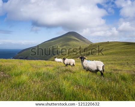 Sheep on Achill Island, Ireland - stock photo