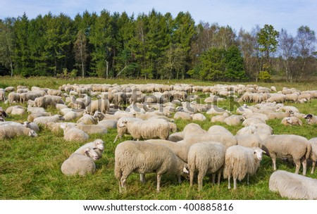 sheep on green grass.  Sheeps in a meadow - stock photo