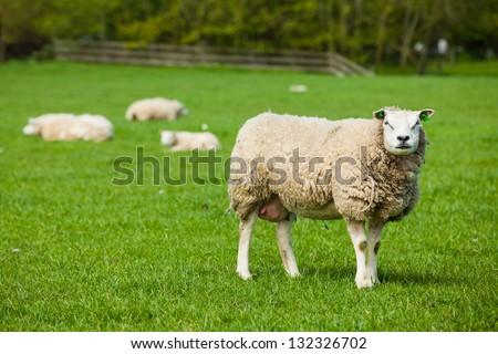 Sheep on green meadow on dutch island Texel - stock photo