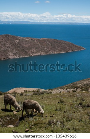 Sheep on isla del sol on the lake titicaca in Bolivia - stock photo