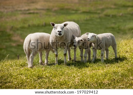 sheep on the countryside in the Netherlands