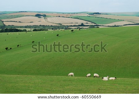 Sheep on the farm in Sussex, England
