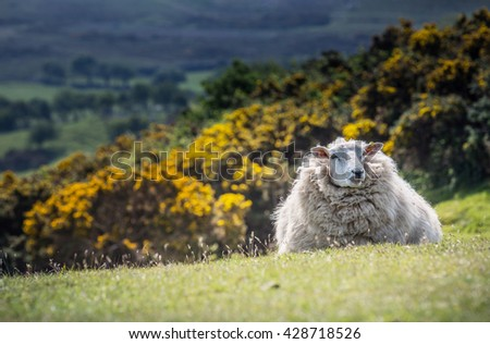 Sheep on the grass. - stock photo