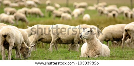 Sheep on the hill, New Zealand - stock photo