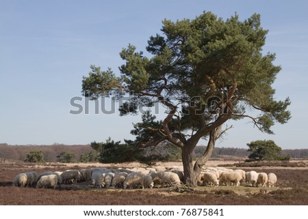 Sheep on the moor under a tree.