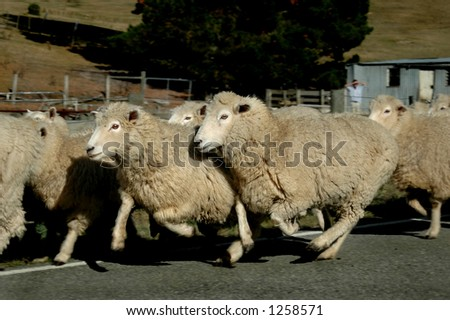 Sheep on the run - stock photo
