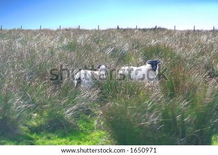Sheep on Windy Moor - stock photo