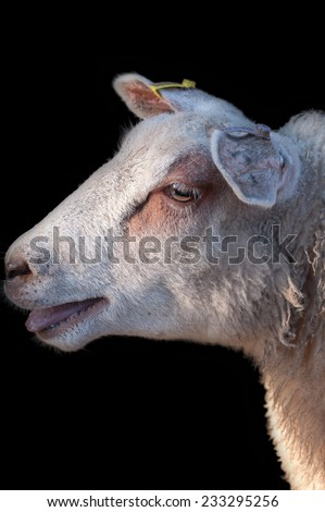 Sheep portrait on black background. - stock photo