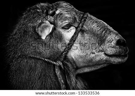 sheep profile in black and white - stock photo