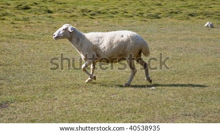 sheep running over a field - stock photo