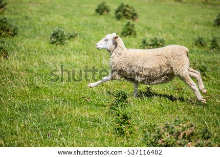 Sheep running with green grass in New Zealand